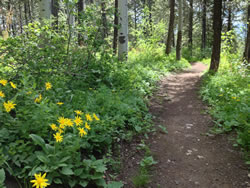 Mountain dandelion habitat. A trail through a forest with yellow flowers blooming along its path.