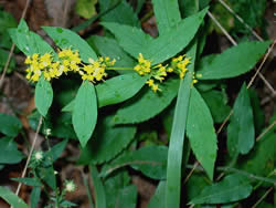 Close-up of Ouachita goldenrod flowers.