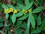 Ouachita Goldenrod (Solidago ouachitensis)