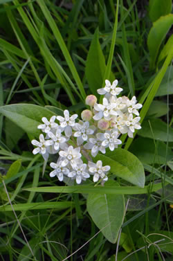 Oval-leaved Milkweed (Asclepias ovalifolia)