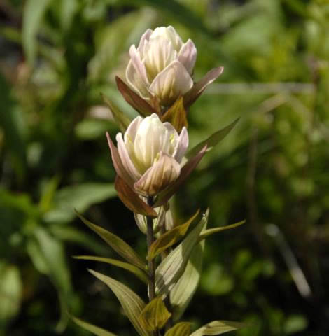 Image result for Castilleja {septentrionalis