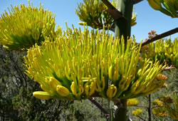 A Parry's agave flower cluster.
