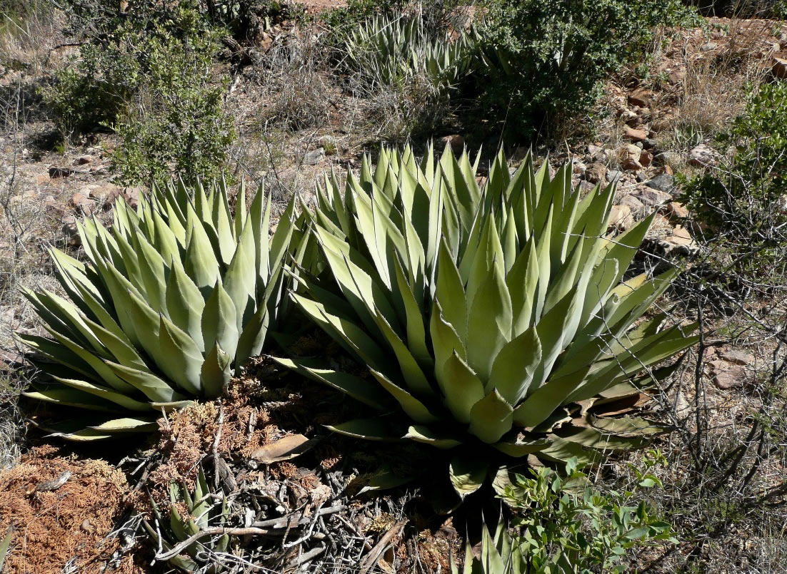 Image result for agave in native habitat