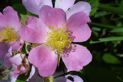 Closeup of Prairie Rose, Rosa setigera.