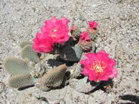 Beavertail cactus plant and flowers.