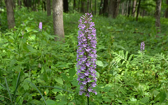 Lesser Purple Fringed Orchid (Platanthera psycodes)