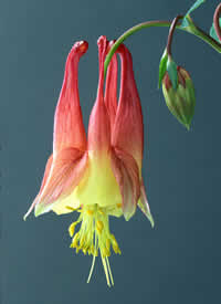 the Red or Eastern Columbine, Aquilegia canadensis L.