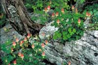 Red or Eastern Columbine, Aquilegia canadensis L., growing around a rock outcrop.)