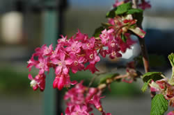 Red-flowering currant.