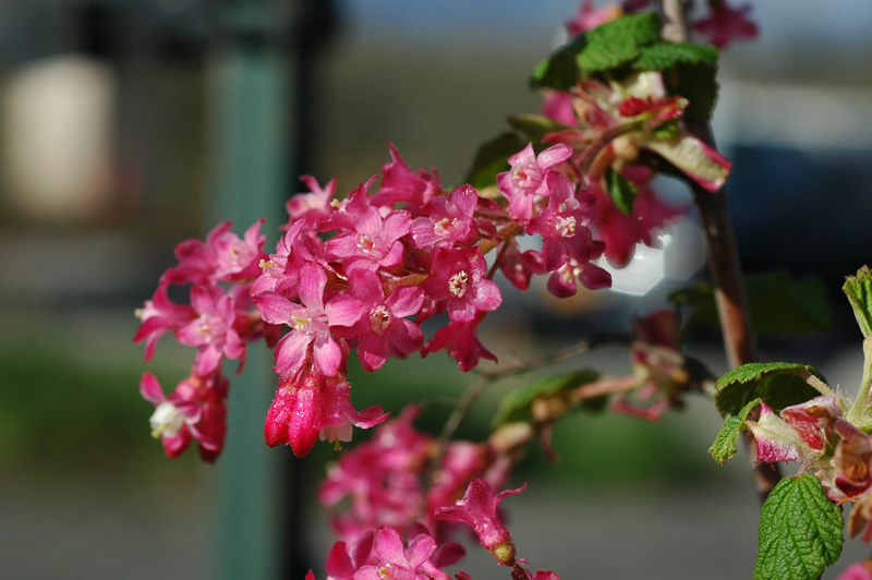 Red flowering currant red flowering currant mightylinksfo