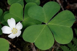 Redwood Sorrel (Oxalis oregana).