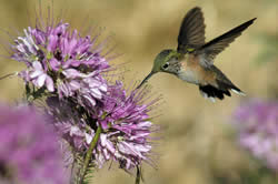 Cleome serrulata and broad-tailed hummingbird.
