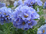 Rocky Mountain Jacob's-ladder (Polemonium confertum).