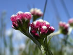 Rosy Pussytoes (Antennaria rosea).