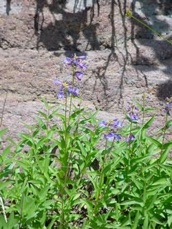 Penstemon rydbergii.