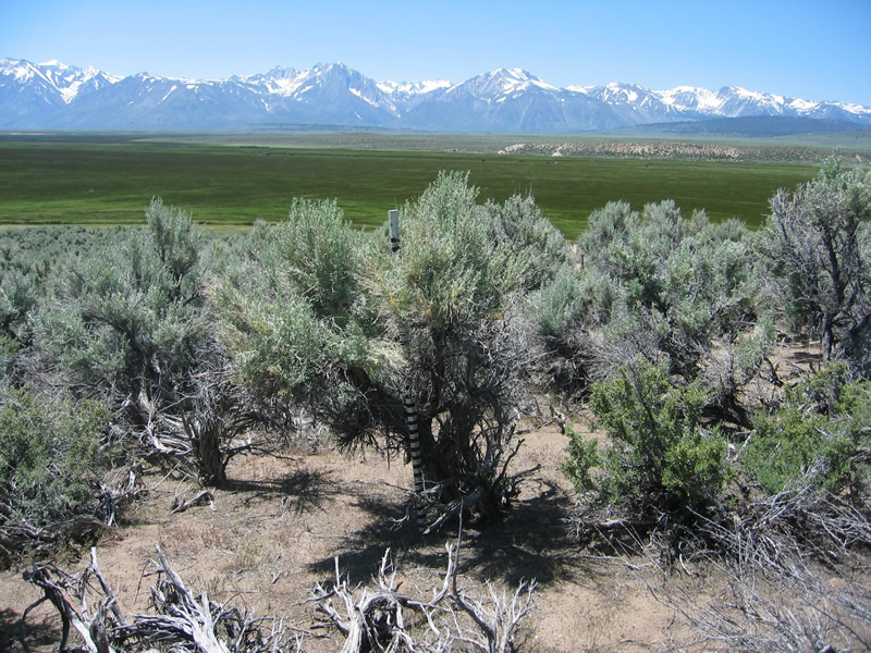 Artemisia tridentata . Photo by Sue Weis, Inyo National Forest.
