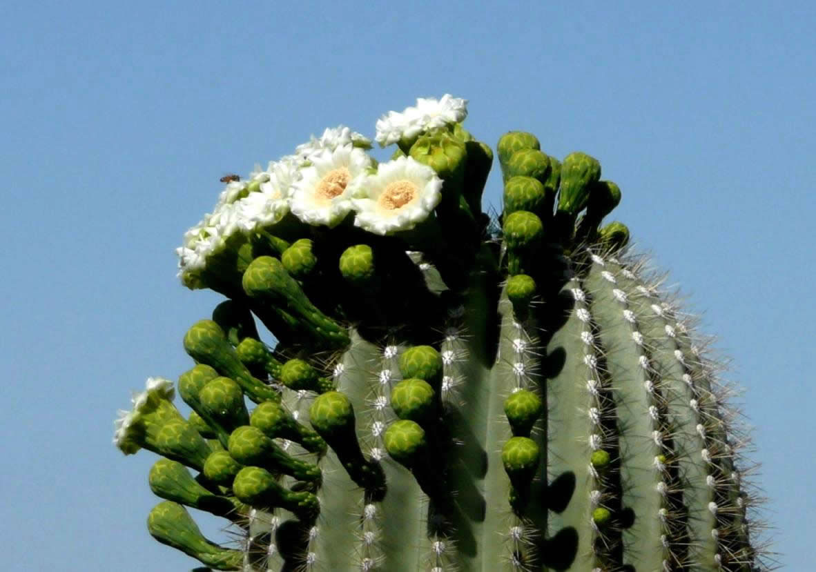 http://www.fs.fed.us/wildflowers/plant-of-the-week/images/saguaro/carnegiea_gigantea1_lg.jpg