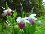 Showy Lady's Slipper (Cypripedium reginae).