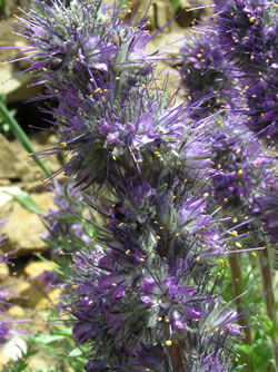 Close-up of the inflorescence of Phacelia sericea.