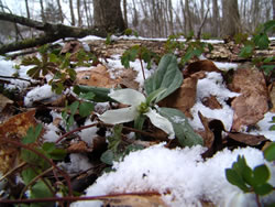 Trillium nivale and snow.
