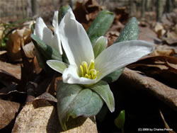 Close up of Trillium nivale.