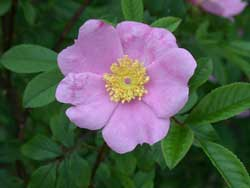 swamp rose, Rosa palustris.