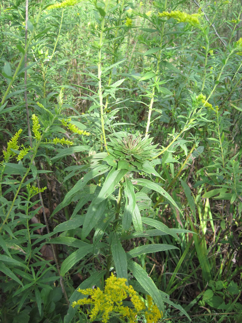 Planting Goldenrod In The Garden: Tall Goldenrod