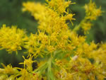Tall Goldenrod (Solidago altissima).