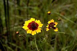 Golden  Tickseed, Coreopsis tinctoria.