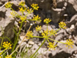 Turpentine spring-parsley (Cymopterus terebinthinus).
