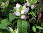 turtlehead, Chelone glabra.