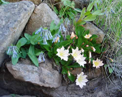 Tweedy's lewisia growing with small bluebells.