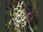 Ute Lady's Tresses (Spiranthes diluvialis).