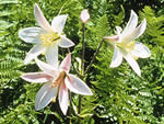 Washington lily, Lilium washingtonianum.