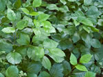 Western Poison-ivy (Toxicodendron rydbergii).
