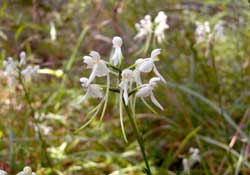white fringeless orchid, Platanthera integrilabia.
