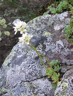 White mountain-saxifrage