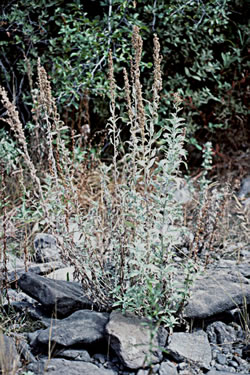White Sagebrush