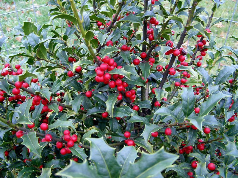 American holly showing the bright green leaves and red berries.
