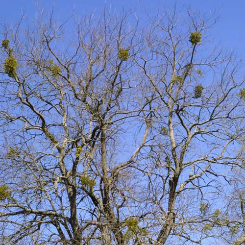 Mistletoe attached high in the branches of an oak tree.