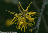 American witch hazel flower.