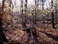American witchhazel forest conditions.