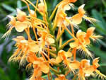 Yellow Fringed Orchid, Platanthera ciliaris.