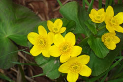 Caltha palustris.