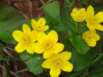 Yellow Marsh Marigold (Caltha palustris).