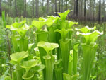 Yellow Pitcherplant (Sarracenia flava).