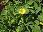 Common Yellow Wood Sorrel (Oxalis stricta).