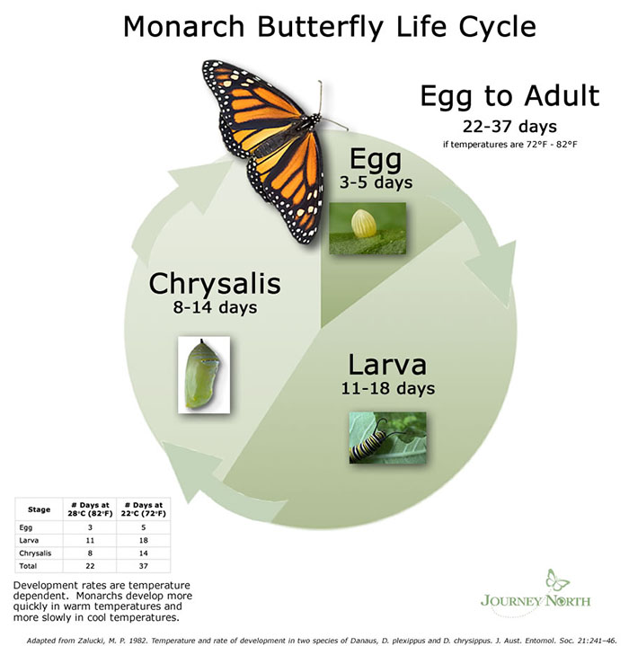 Monarch Butterfly Life Cycle graphic. See long description.
