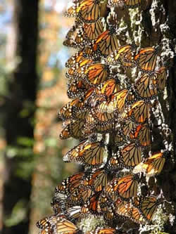 An adult Monarch butterflies congregating on a tree trunk.