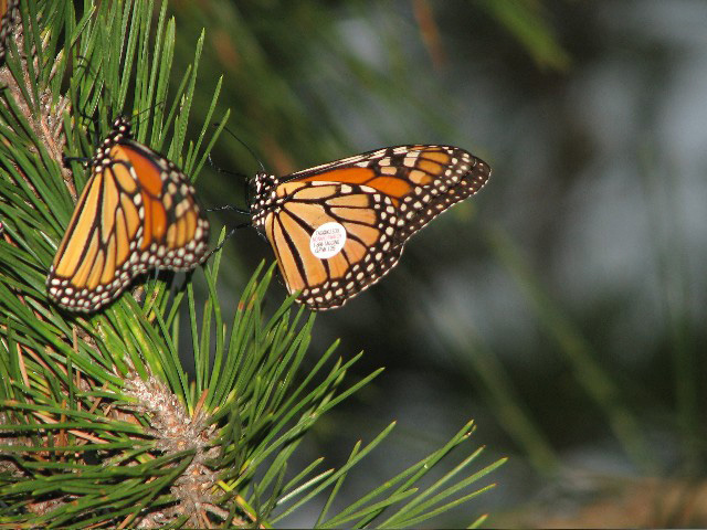 Picture of a tagged monarch butterfly.